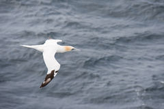 Northern gannet in flight. Northern gannet, Sula bassana, in flight seen from above with sea in the background Stock Photo