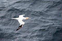 Northern gannet in flight Stock Images
