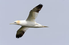 Northern gannet. In flight under the sky Stock Photo