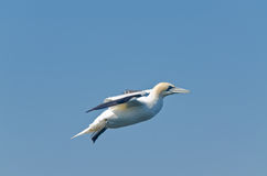 Northern gannet Stock Photos