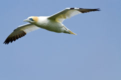 Northern gannet. In flight under the sky Royalty Free Stock Photos