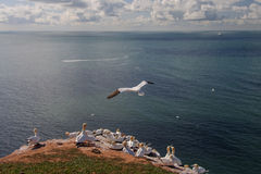 Northern Gannet flying above birds colony Stock Photography