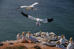 Northern Gannet flying above birds colony Stock Photos