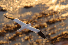 Northern Gannet flying above golden see Royalty Free Stock Photos