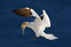 Northern gannet, flying black and white sea bird with dark blue sea water in the background, Helgoland island, Germany Stock Photo