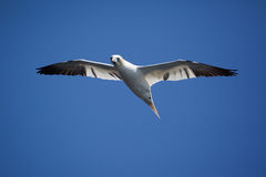 Northern Gannet Flying Stock Images