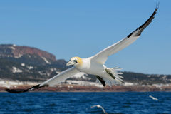 Northern Gannet flying open wings Stock Photos