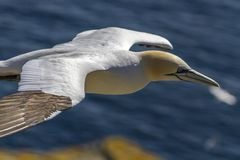 Northern Gannet in flight, Newfoundland