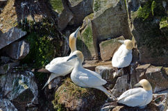 Northern gannet. S on the nest Royalty Free Stock Photography