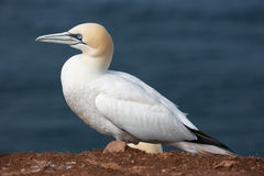 Northern Gannet at the German Island Helgoland. Northern Gannet Morus bassanus at the Island Helgoland, Germany stock image