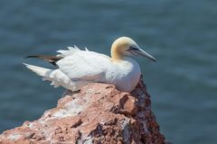 Northern Gannet at the German Island Helgoland. Northern Gannet Morus bassanus at the Island Helgoland, Germany royalty free stock photo