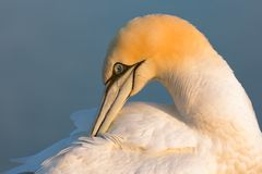 Northern Gannet at the German Island Helgoland. Northern Gannet Morus bassanus in sunset at the Island Helgoland, Germany stock photography