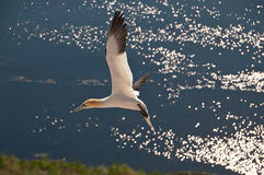 Northern Gannet on Helgoland, Germany. This bird is called Morus Bassanus or Northern Gannet . The German name is Basstölpel. This picture was made on the royalty free stock photo