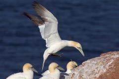 Northern Gannet landing. A northern gannet touching down near other gannets stock photos