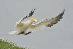 Northern Gannet landing on cliff top Stock Photo