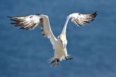 Northern Gannet landing on the cliffs at RSPB Bempton Cliffs with its wings raised stock image