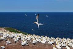 Northern Gannet Landing Stock Photography