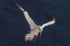 Northern Gannet landing with nesting material 3. A northern gannet touching down with nesting material Royalty Free Stock Image