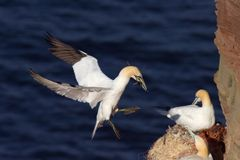 Northern Gannet landing with nesting material. A northern gannet touching down with nesting material Royalty Free Stock Image