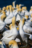Northern Gannet in love Stock Image