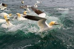 Northern gannet Morus bassanus feeding on fish. Royalty Free Stock Photo