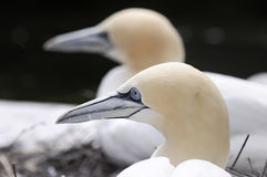 Northern Gannet (Morus Bassana), close-up Royalty Free Stock Image