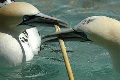 Northern Gannet (Morus bassanus). Gannets contest for nesting material in Amsterdam Zoo, Netherlands Stock Photo