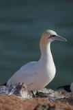 Northern Gannet (Morus bassanus) Stock Photography