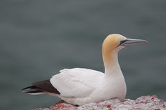 Northern Gannet (Morus bassanus) Stock Photo