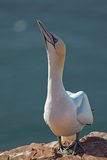 Northern Gannet (Morus bassanus) Royalty Free Stock Photos