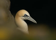 Northern Gannet (Morus bassanus) Royalty Free Stock Image
