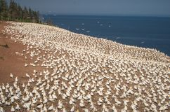 Northern Gannet Morus bassanus colony on hillside. A Northern Gannet Morus bassanus colony on Bonaventure Island, Quebec Canada royalty free stock photos
