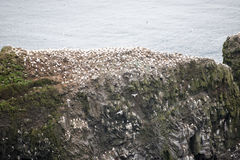 Northern gannet, Morus bassanus, colony Royalty Free Stock Photo