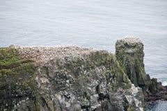 Northern gannet, Morus bassanus, colony Stock Image