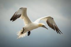 Northern Gannet (Morus bassanus) in Flight Royalty Free Stock Photo