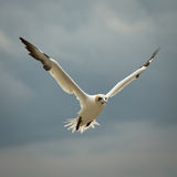 Northern Gannet (Morus bassanus) in Flight Royalty Free Stock Photography