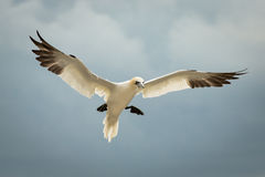 Northern Gannet (Morus bassanus) in Flight Stock Photo