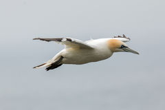 Northern gannet (Morus bassanus) in flight Stock Image