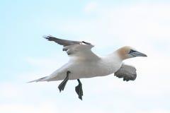 Adult Northern gannet in flight Stock Photo