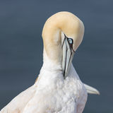 Northern gannet Morus bassanus at German Helgoland Island. Northern gannet Morus bassanus at Helgoland Island, Germany stock photos