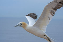 Northern gannet (Morus bassanus) Stock Photography