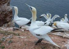 Northern gannet (Morus bassanus) Stock Images