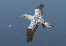Northern gannet (Morus bassanus) Royalty Free Stock Photo