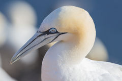 Northern gannet (Morus bassanus) Royalty Free Stock Images