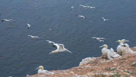 Northern gannet (Morus bassanus) Stock Images