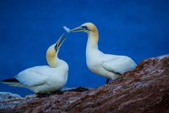 Northern Gannet Morus bassanus, mating gannets on cliffs, bird couple playing with feather royalty free stock images