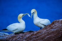 Northern Gannet Morus bassanus, mating gannets on cliffs, bird couple playing with feather royalty free stock photography