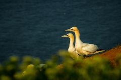 Northern Gannet Morus Bassanus, Mating Gannets On Cliffs, Lovely Bird Couple Royalty Free Stock Photography