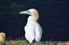 Northern Gannet (Morus bassanus) Royalty Free Stock Photography