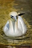 Northern Gannet (Morus bassanus). The Northern Gannet (Morus bassanus) is a seabird and also the largest member of the gannet family. Gannets hunt fish by diving Stock Images
